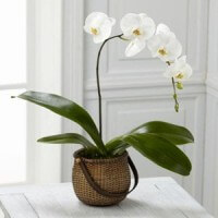 wh-phalaenopsis-orchid